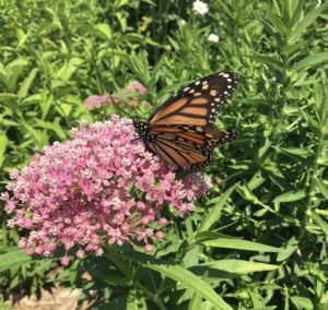 Hope's Monarch Garden welcomes a visitor!